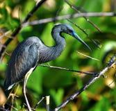Błękitny Czapli ptak Zdjęcia Royalty Free