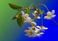 błękitny czereśniowych kwiatów zielony drzewo Zdjęcia Royalty Free