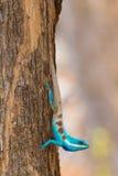 błękitny czubata jaszczurka Zdjęcie Royalty Free