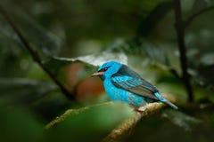 Błękitny Dacnis, Dacnis cayana, egzotycznego zwrotnika błękitny tanager z żółtą nogą, Costa Rica Błękitny ptak śpiewający w natur Obrazy Stock