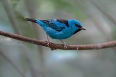 Błękitny Dacnis umieszczał na gałąź w tropikalnym lesie deszczowym zdjęcia royalty free