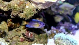 Błękitny Damselfish - Chrysiptera taupou Zdjęcia Stock