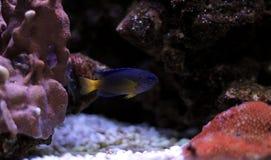 Błękitny Damselfish - Chrysiptera taupou Obraz Stock