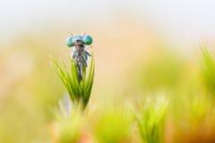 Błękitny damselfly łapać w pułapkę w rosiczce Obrazy Royalty Free