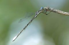 Błękitny damselfly na jego gałąź Fotografia Royalty Free