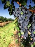 błękitny dojrzały winograd obrazy stock