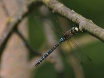 Błękitny domokrążcy Dragonfly Obrazy Royalty Free