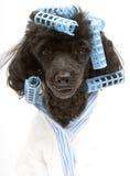 Błękitny dopasowywania Bathrobe Na pudlu i Curlers Fotografia Royalty Free