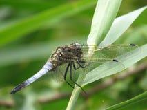 Błękitny dragonfly łasowanie Fotografia Stock