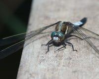 Błękitny dragonfly Zdjęcie Royalty Free