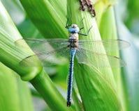 Błękitny dragonfly Fotografia Royalty Free