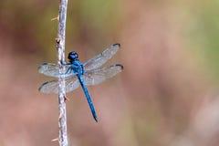 Błękitny dragonfly Libellula incesta obraz stock