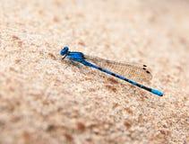 Błękitny Dragonfly na piaskowu Fotografia Stock