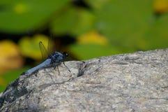 Błękitny dragonfly na skale Obrazy Royalty Free