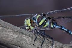 Błękitny Dragonfly odpoczywa na gałąź Zdjęcie Stock