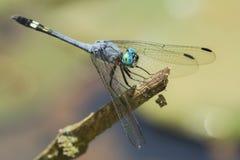 Błękitny dragonfly z zielonymi oczami na kiju Obrazy Stock