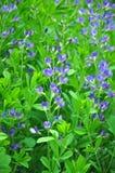 Błękitny dziki indygowy (Baptisia australis) obrazy stock