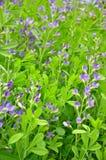 Błękitny dziki indygowy (Baptisia australis) obraz stock