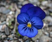 Błękitny Dziki Pansy Zdjęcia Royalty Free