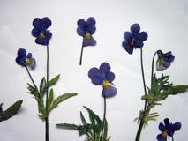 Błękitny dziki wysuszony pansy wzór Fotografia Royalty Free