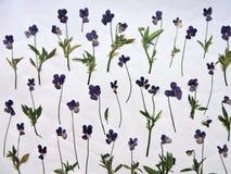 Błękitny dziki wysuszony pansy wzór Obraz Stock