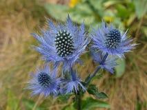Błękitny dzikiego kwiatu oset Fotografia Royalty Free