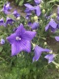 Błękitny dzwon kwitnący w ogródzie Zdjęcie Royalty Free