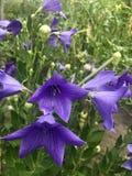 Błękitny dzwon kwitnący w ogródzie Obraz Royalty Free