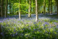 Błękitny dzwonkowy drewno w wiośnie Obrazy Royalty Free