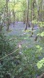 Błękitny dzwonkowy las obrazy stock