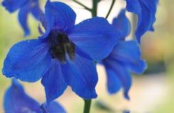 Błękitny elegancki dzwonkowy kwiat fotografia stock