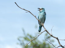 Błękitny europejski rolownik w kruger parku narodowym Fotografia Royalty Free