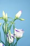 błękitny eustoma lisianthus cień Zdjęcie Royalty Free