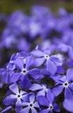 Błękitny floksa kwiat w wiośnie w ogródzie Zdjęcie Stock
