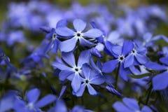 Błękitny floksa kwiat w wiośnie w ogródzie Zdjęcia Royalty Free