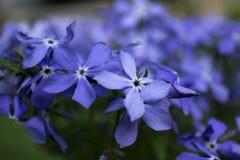 Błękitny floksa kwiat w wiośnie w ogródzie Fotografia Royalty Free