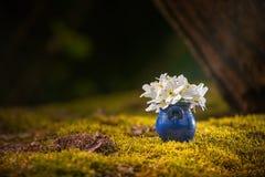 Błękitny flowerpot z białymi springflowers zdjęcie royalty free