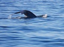 błękitny fluking wieloryb Fotografia Royalty Free