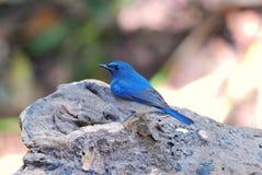 błękitny flycatcher Hainan samiec Fotografia Royalty Free