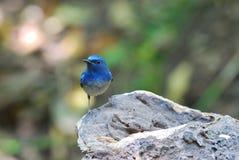 błękitny flycatcher Hainan samiec Zdjęcie Royalty Free