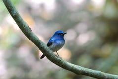 błękitny flycatcher Hainan samiec Obraz Royalty Free