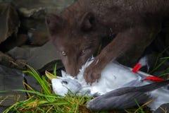 Błękitny Fox łama ptasiego Seagull, łapiącego na rookery zdjęcie royalty free