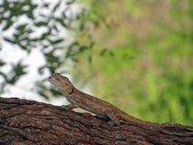 Błękitny Głowiasty Drzewny Agama - Agama Atricollis Zdjęcia Stock