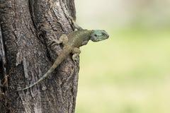 Błękitny Głowiasty Drzewny Agama, Tanzania Fotografia Stock