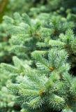 błękitny gałąź świerkowy drzewo Obrazy Royalty Free