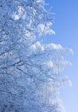 błękitny gałąź zakrywali niebo śnieg Fotografia Stock