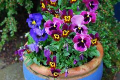 Błękitny garnek pełno colourful Pansies w menchiach i purpurach obrazy royalty free