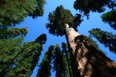 błękitny gigantycznej sekwoi nieba drzewo Fotografia Royalty Free
