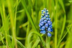 Błękitny gronowego hiacyntu kwiat w zielonej trawie zdjęcie stock