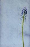 błękitny gronowy hiacynt Obraz Stock